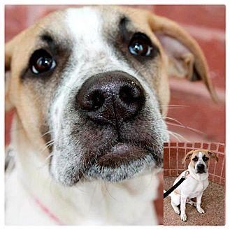 American Bulldog/Husky Mix Puppy for adoption in Garden City, Michigan - Marshall