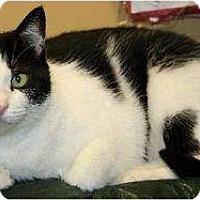 Domestic Shorthair Cat for adoption in Lovingston, Virginia - Mandy