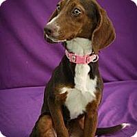 Adopt A Pet :: Slush - Broomfield, CO