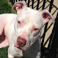 American Pit Bull Terrier Dog for adoption in Denton, Texas - Snow Angel