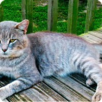 Adopt A Pet :: Big Ham - Harrisburg, NC