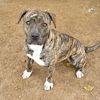 Adopt A Pet :: J-Low - Las Vegas, NV
