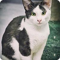 Domestic Shorthair Kitten for adoption in Nassau Bay, Texas - Tuffy