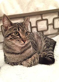 Domestic Shorthair Cat for adoption in New York, New York - Alice