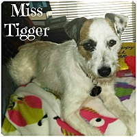 Adopt A Pet :: Miss Tigger in Tulsa PENDING - Oklahoma City, OK