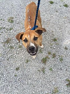 Boxer/Labrador Retriever Mix Dog for adoption in Morehead, Kentucky - Chance