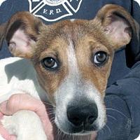 Adopt A Pet :: Harry - Germantown, MD