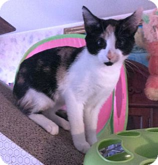Calico Kitten for adoption in Pasadena, Maryland - Twistie