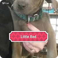 Adopt A Pet :: Little Red - Sinking Spring, PA