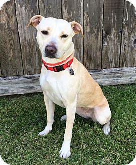 Labrador Retriever Mix Dog for adoption in Houston, Texas - Vail