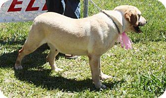 Labrador Retriever Mix Dog for adoption in Grayson, Louisiana - Buttercup