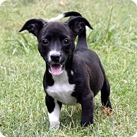 Adopt A Pet :: Jazz Rya... - Aurora, CO