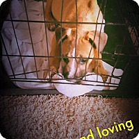 Adopt A Pet :: Mr. Gold - Fayetteville, NC