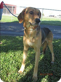 Hound (Unknown Type)/German Shepherd Dog Mix Dog for adoption in Mount Sterling, Kentucky - Gentle Bob