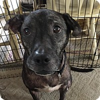 Adopt A Pet :: Nahla  33252721  *IN FOSTER* - Westampton, NJ