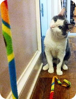 Domestic Shorthair Cat for adoption in New York, New York - Cotton