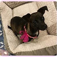 Italian Greyhound/Chihuahua Mix Puppy for adoption in Phoenix, Arizona - Ebby