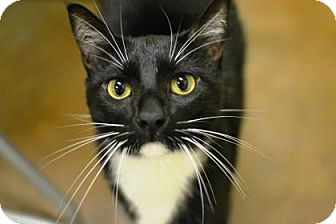 Domestic Shorthair Cat for adoption in New Orleans, Louisiana - Floyd