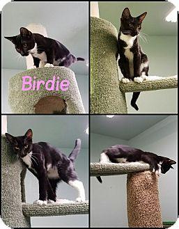 Domestic Shorthair Kitten for adoption in California City, California - Birdie