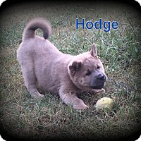 Adopt A Pet :: Hodge - Denver, NC