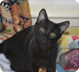 Domestic Shorthair Kitten for adoption in Bristol, Connecticut - Claudette