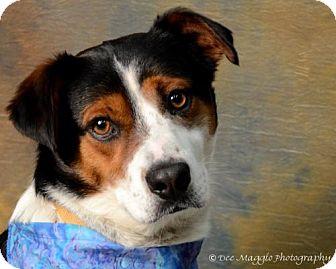 Australian Shepherd/Collie Mix Dog for adoption in Livonia, Michigan - Enzo ♥ - ADOPTION PENDING