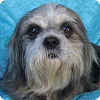 Adopt A Pet :: Sharona Bassett Buddy - Cuba, NY
