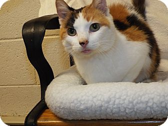Calico Cat for adoption in Shelby, Michigan - Fluffy
