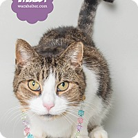 Adopt A Pet :: Vivaldi - Wyandotte, MI