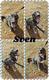 German Shepherd Dog/Husky Mix Puppy for adoption in Ringwood, New Jersey - Sven