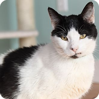 Domestic Shorthair Cat for adoption in Brimfield, Massachusetts - Domino