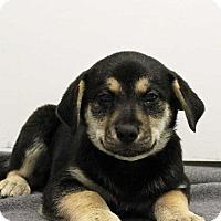 Adopt A Pet :: Thaddeus - Harrisonburg, VA