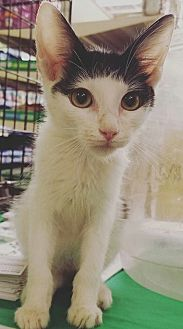 Domestic Shorthair Kitten for adoption in Phoenix, Arizona - Cloud