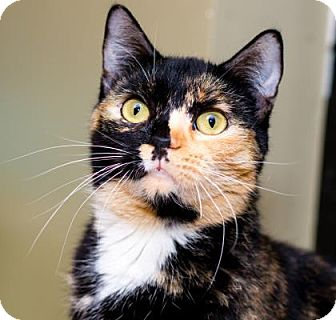 Domestic Shorthair Cat for adoption in Palm Springs, California - Celtic