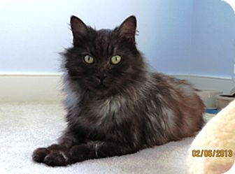 Domestic Shorthair Cat for adoption in Richmond, Virginia - Pepper
