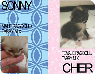 Calico Kitten for adoption in Hollywood, Florida - CHER