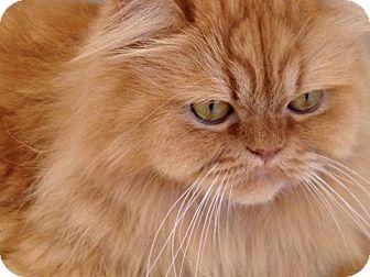 Persian Cat Rescue Staffordshire