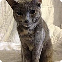 Domestic Shorthair Cat for adoption in Miami, Florida - Tulip