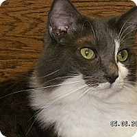 Domestic Longhair Cat for adoption in Ridgecrest, California - Isaiah