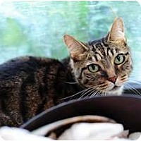 Adopt A Pet :: Miss Kitty - Coral Springs, FL