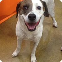 Adopt A Pet :: Jack! Like Jack in the box! - McAllen, TX