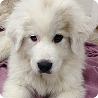 Adopt A Pet :: Hattie ADOPTION PENDING - Bloomington, IL