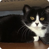 Domestic Shorthair Cat for adoption in Alden, Iowa - Jester