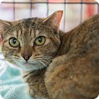 Adopt A Pet :: Misty - Merrifield, VA