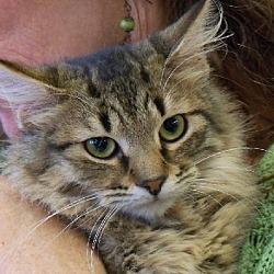 Photo 2 - Domestic Longhair Cat for adoption in Walnut Creek, California - Moonbeam