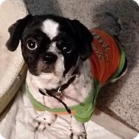 Adopt A Pet :: Freddie - Springfield, VA