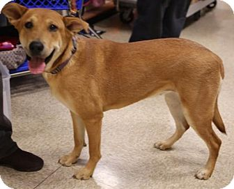 Labrador Retriever/German Shepherd Dog Mix Dog for adoption in Olive Branch, Mississippi - Regina