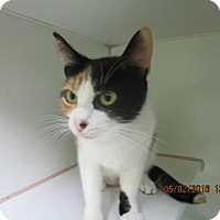 Domestic Shorthair Cat for adoption in Greenville, North Carolina - Glameow