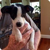 Adopt A Pet :: Beau - Barnegat, NJ