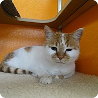 Domestic Shorthair Cat for adoption in Elyria, Ohio - Manny